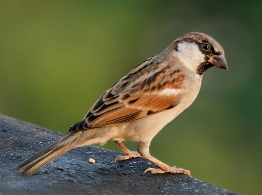The house sparrow was once considered to be a pest species.