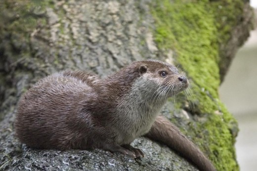 Otters are now doing well in many rivers.