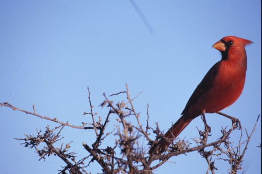 You are likely to see Cardinals wherever you go in Missouri, and Branson is no exception.