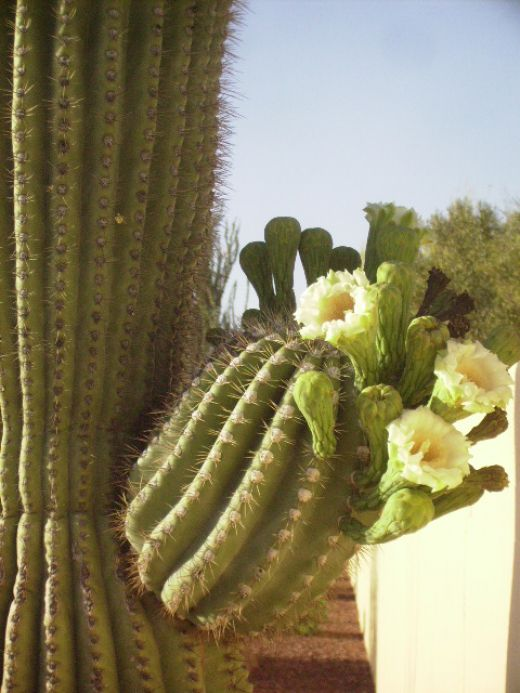 Blossoms on arm of a Saguaro Cactus.  Blossoms appear in May and June with each flower open for about 12 hours before dying.