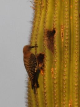 Older Saguaros often contain many such holes made by woodpeckers.  However, these do not harm the Saguaro as it quickly grows a protective coating over the exposed edges of the hole to prevent water loss.  Once the woodpecker abandons the hole, other