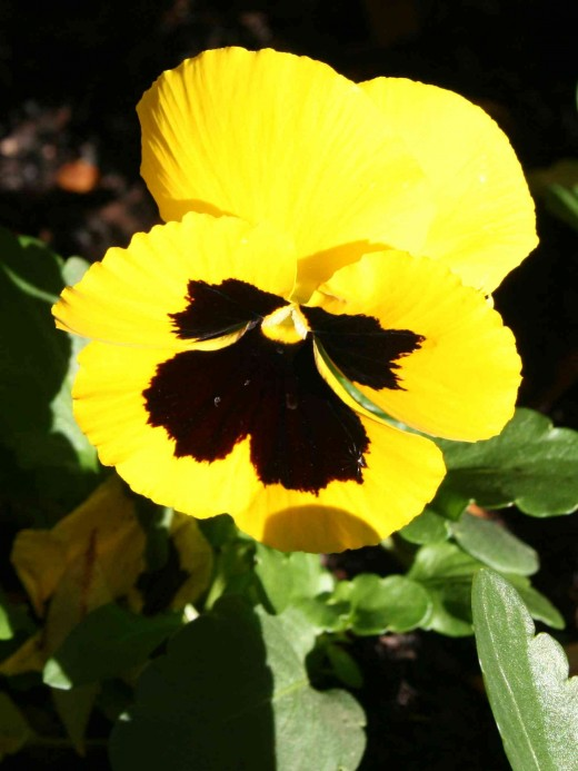 "Pansy or ""gesiggie"" (little face) in Afrikaans."