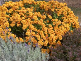 HARDY ORANGE CHRYSANTHEMUM