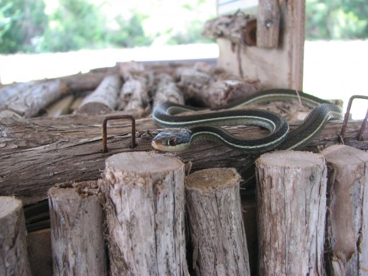 This garter snake was hanging out on the donations box all day, on the day I took this pic. The economy must be hurting him too, he has to steal the donations. lol