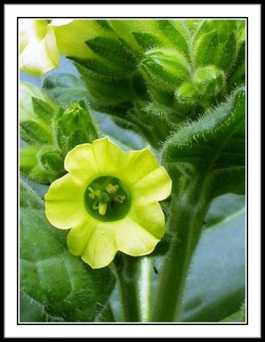 North American Tobacco Flower