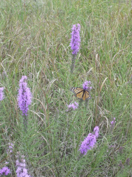 "Thickspike Gayfeather (also known as the ""Prairie Blazing Star"")."