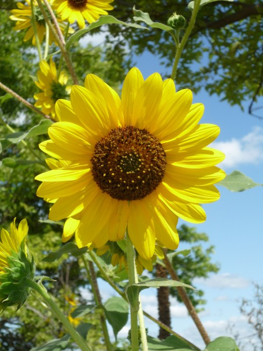Sunflower - The Kansas State Flower!