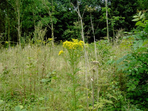 RAGWORT-in open woodland