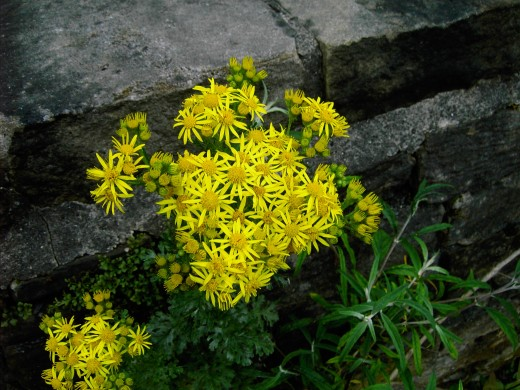 The bright yellow flowers of the ragwort.