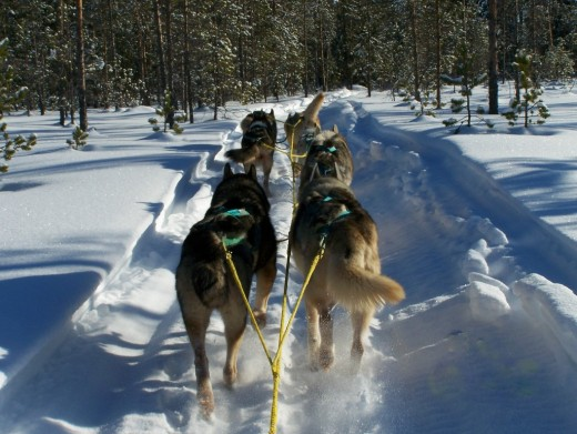 Husky Dog Sled to the Igloo Village