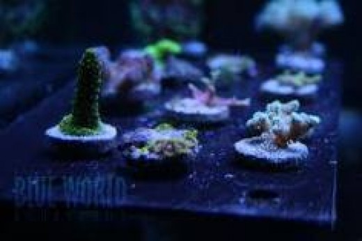 frag photo - blueworld aquarium
