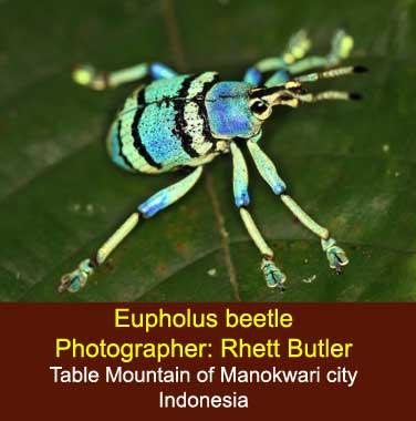Eupholus schoenherri weevil from the Table Mountain near Manokwari city in New Guinea island - the Republic of Indonesia