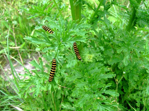 The conspicuous caterpillars of the cinnabar moth eat the plant with seeming impunity.