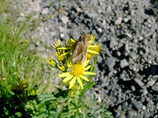 Other species of moth take nectar from ragwort flowers