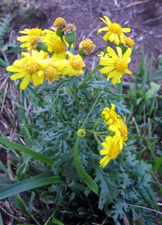 Oxford ragwort has a much longer flowering period than the common species.