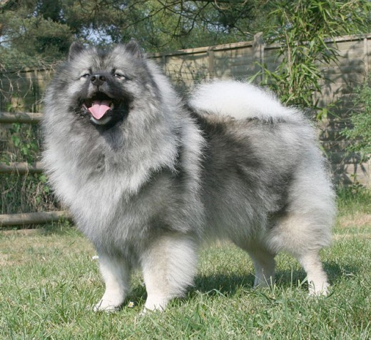Keeshond Dog.  Picture From Google Images
