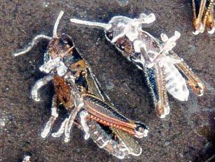 Crickets killed by Beauveria fungi