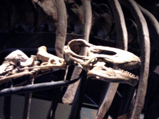 The skull of Rapetosaurus.