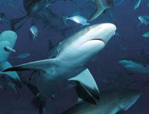 Deadliest Shark In The World