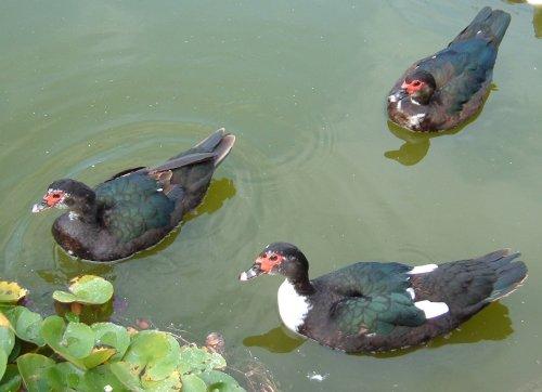 Ducks on water. Photo by Steve Andrews