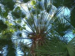 Fan palm leaves. Photo by Steve Andrews