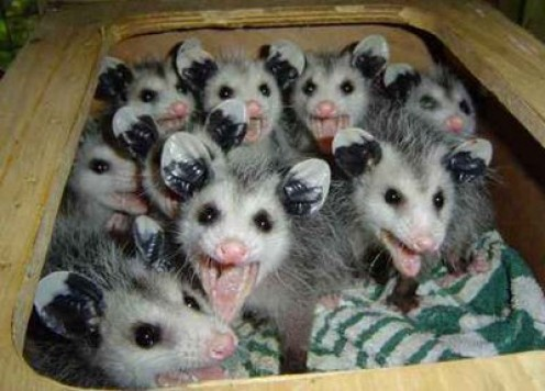 I had to put at least one picture of some Possums in this hub before it ended!