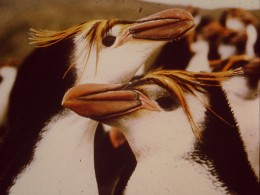Contentment - A couple of 'in love' Royal Penguins.