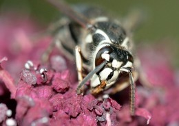 A Bald Faced Hornet