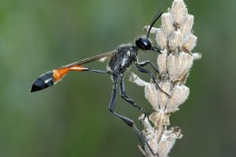 A Wasp from the Ammophilia Procera family.