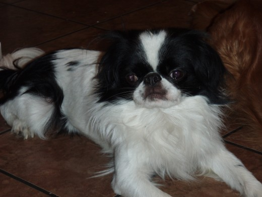 My Japanese Chin. His name is Pretty Boy Floyd