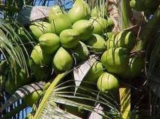 Ready to cut for Coconut Water Young Coconut