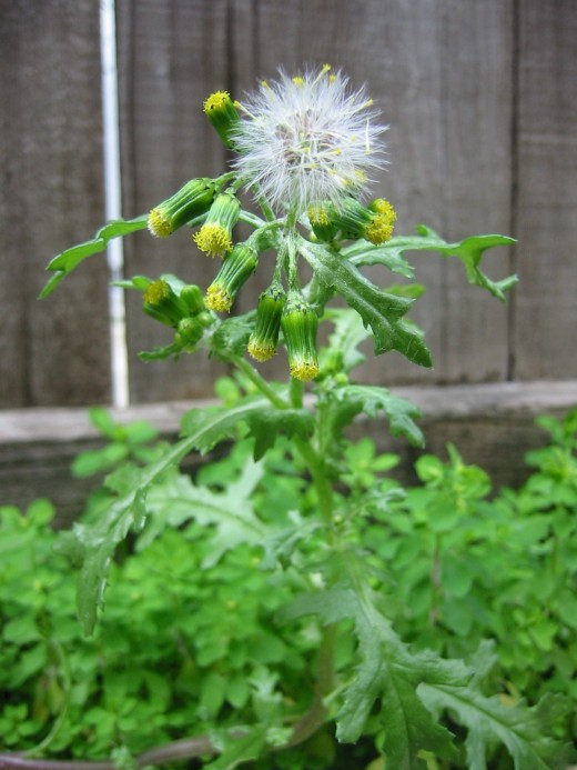 The small flowers and the seed plumes can clearly be seen on this common groundsel