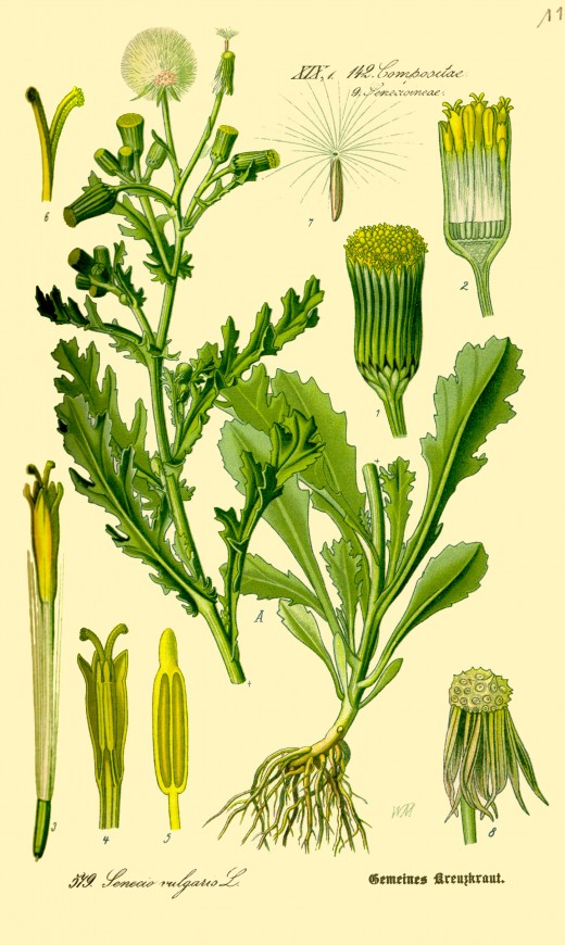 Components of the common groundsel