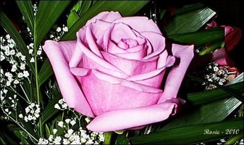 Lilac colored Rose, photo by Rosie2010 - Photography as a Hobby