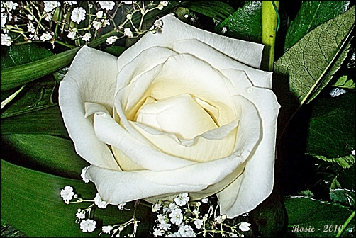 White Rose, photo by Rosie2010 - Photography as a Hobby