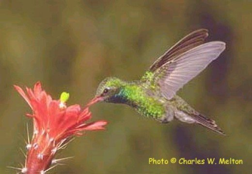 Broad Billed Hummingbird