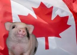 Canadian minipig