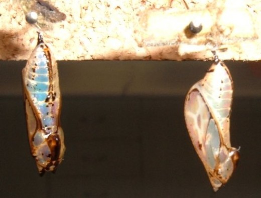 Butterfly chrysalises
