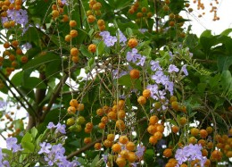 Yellow berries of Duranta plumier
