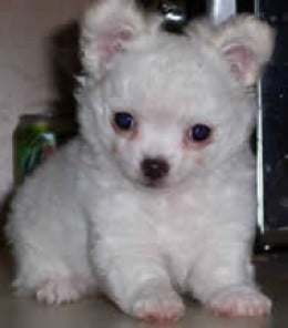 Mexican Chihuahua Dog has a small mouth.  It cannot bark even if it wants to.