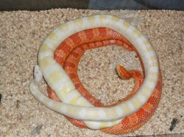Co-habbing snakes can cause a lot of problems and in some species it can end with one being eaten by the other.