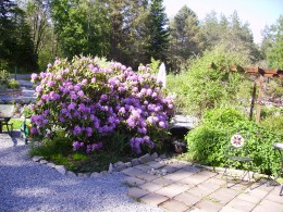 My dear Rhodendendron and a glimps of the always present wheelbarrow!