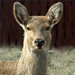 Typical Deer Reaction to a Deer Whistle, Focused on the Noise and Still