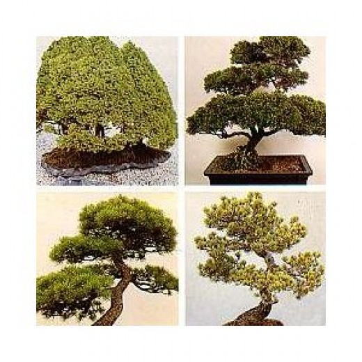 You Can Buy A Bonsai On Amozon.
