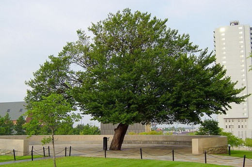 The Survivor Tree at the Oklahoma City National Memorial and Museum