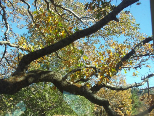 Looking up at the branches of a mighty oak tree.