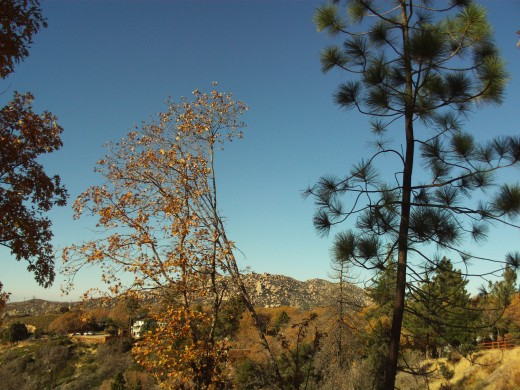 The oak tree next to a pine tree looking out towards the Pinnacles.