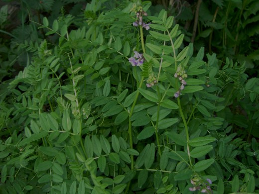 BUSH VETCH  HAVE TENDRILS TO AID CLIMBING AND FOR SUPPORT.
