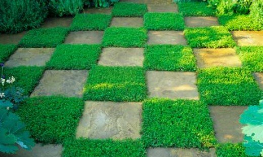 Mat of creeping thyme