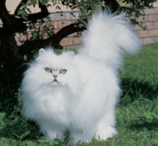 long hair cat breeds